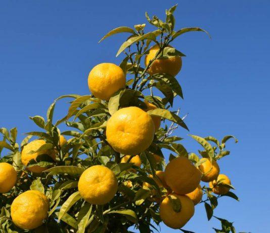 arancia amara benefici e proprietà